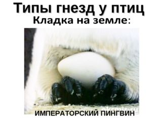Типы гнезд у птиц ИМПЕРАТОРСКИЙ ПИНГВИН