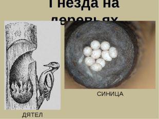 Гнезда на деревьях ДЯТЕЛ СИНИЦА