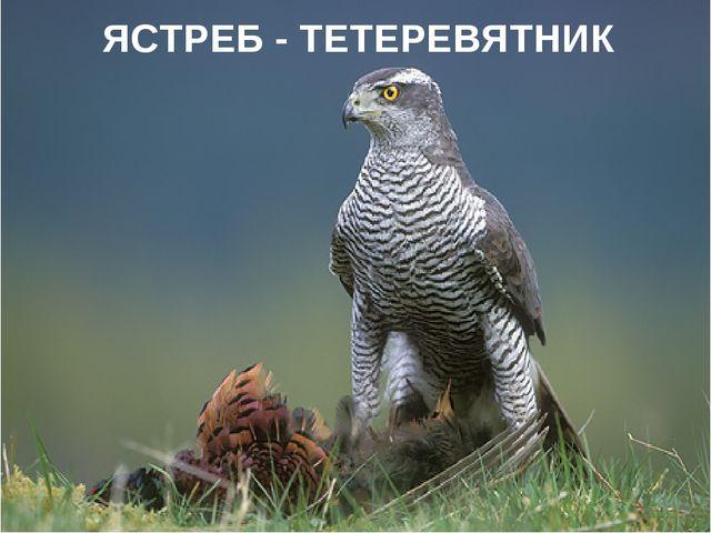 ЯСТРЕБ - ТЕТЕРЕВЯТНИК