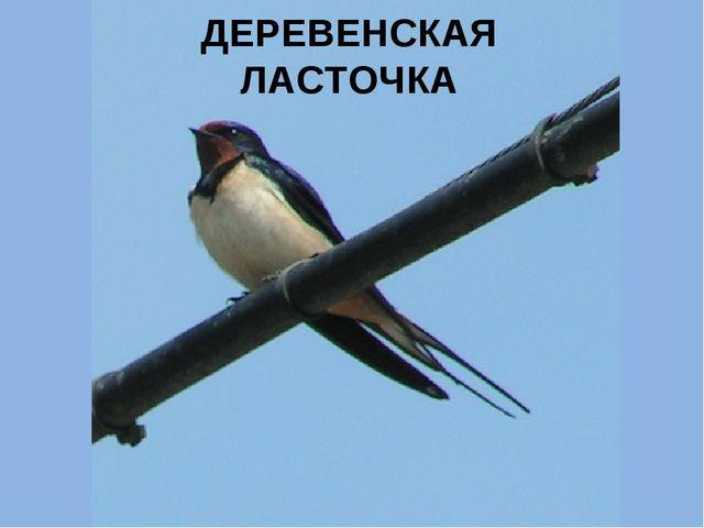 ДЕРЕВЕНСКАЯ ЛАСТОЧКА