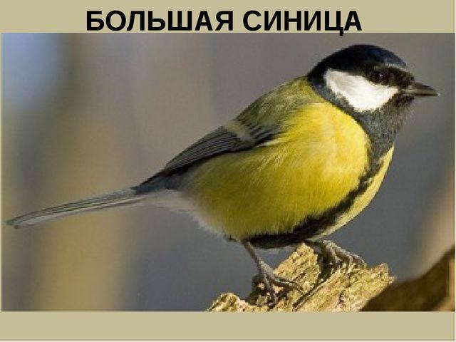 БОЛЬШАЯ СИНИЦА