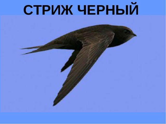 СТРИЖ ЧЕРНЫЙ