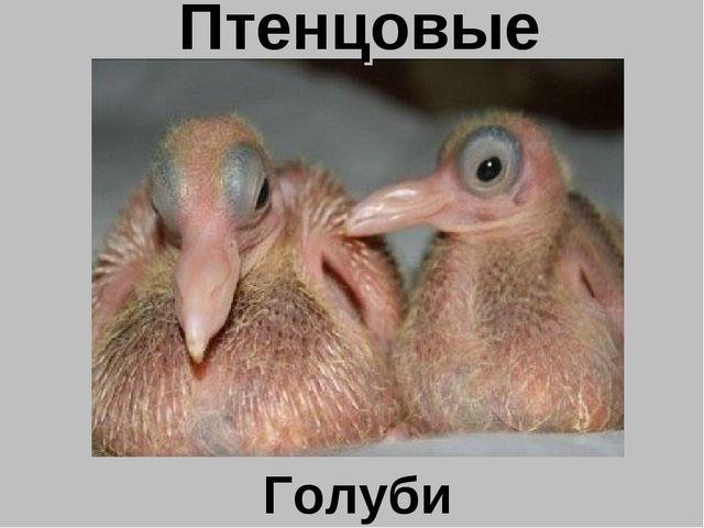 Птенцовые Голуби