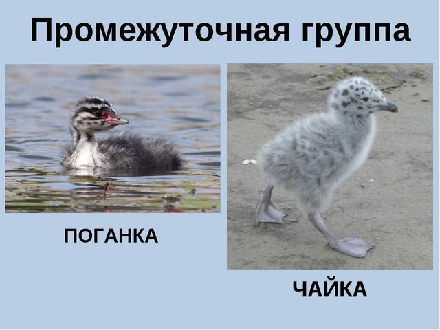 Промежуточная группа ПОГАНКА ЧАЙКА