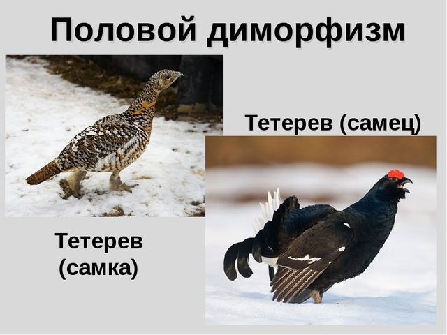 Половой диморфизм Тетерев (самка) Тетерев (самец)