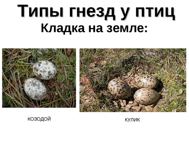 Типы гнезд у птиц Кладка на земле: КОЗОДОЙ КУЛИК