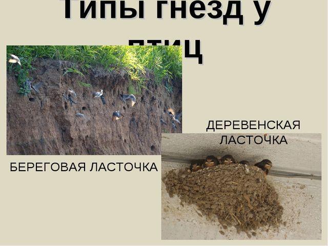 Типы гнезд у птиц ДЕРЕВЕНСКАЯ ЛАСТОЧКА БЕРЕГОВАЯ ЛАСТОЧКА