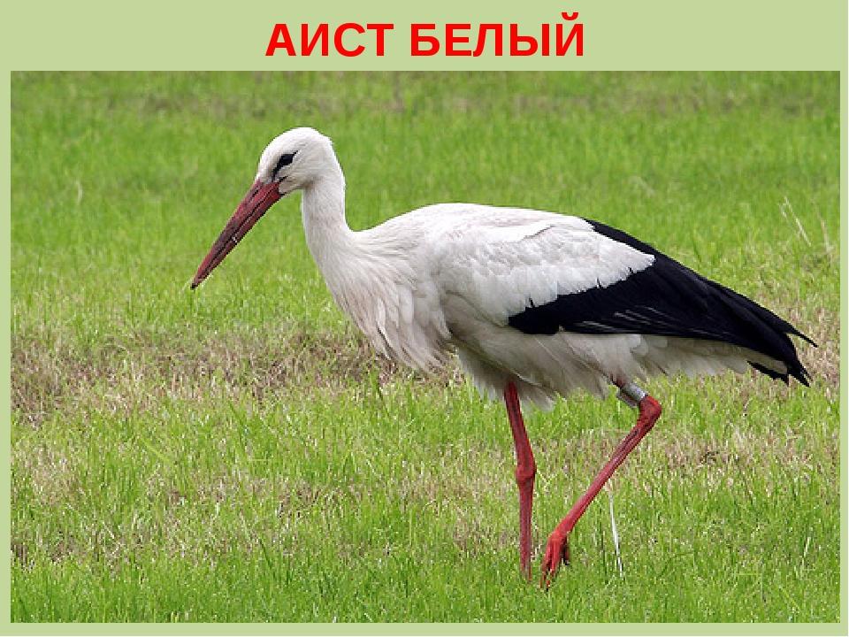 АИСТ БЕЛЫЙ
