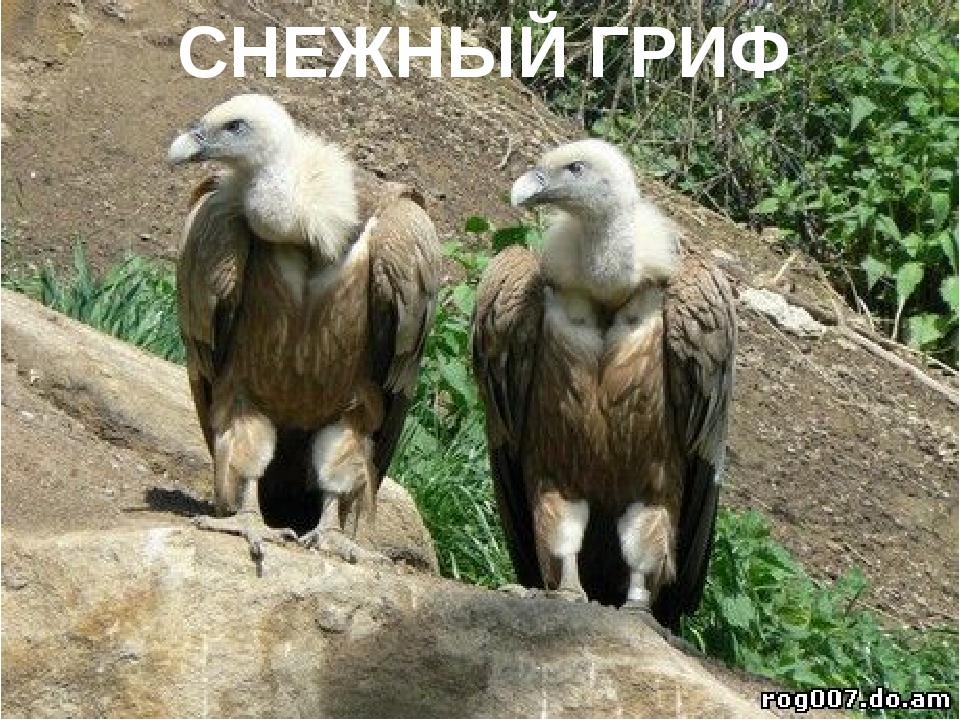 СНЕЖНЫЙ ГРИФ