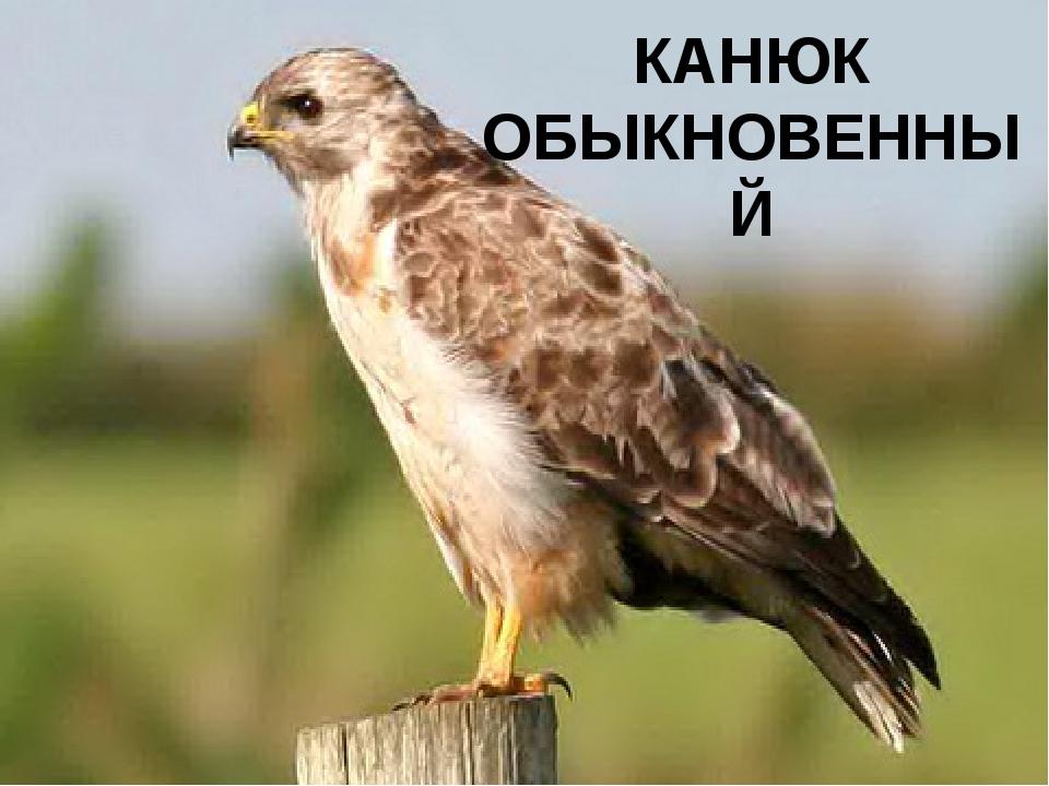 КАНЮК ОБЫКНОВЕННЫЙ