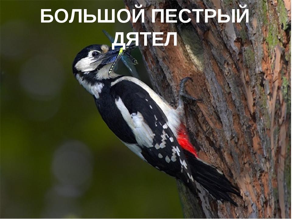 БОЛЬШОЙ ПЕСТРЫЙ ДЯТЕЛ