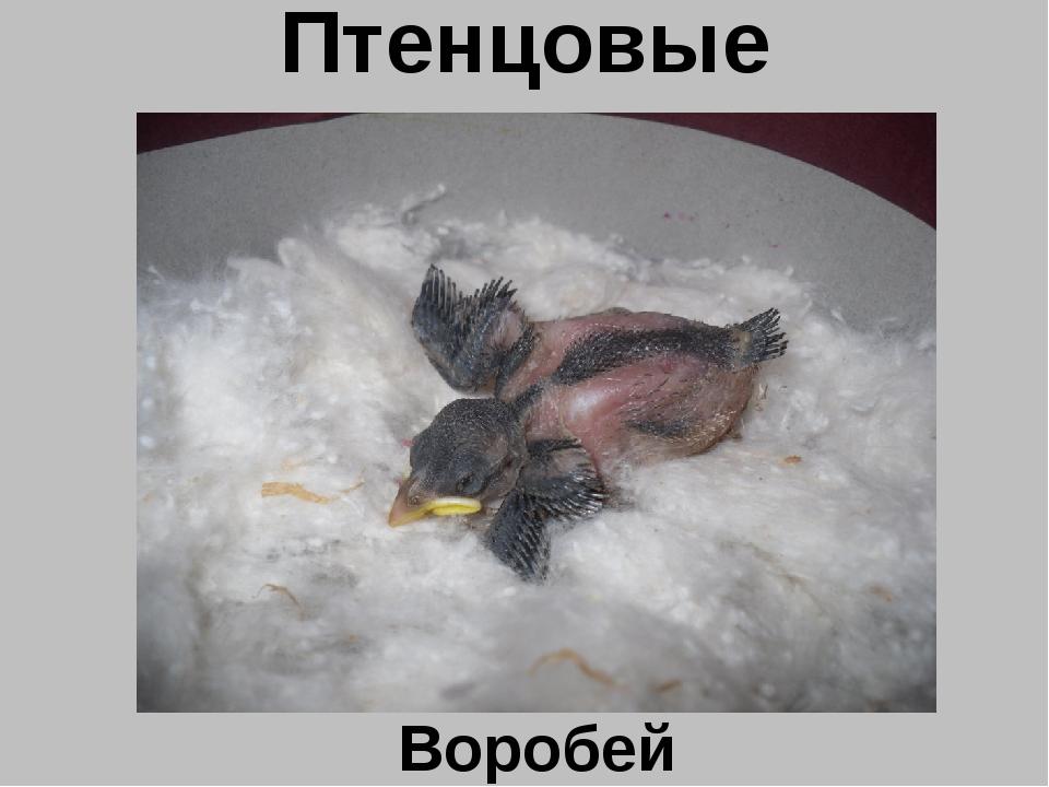 Птенцовые Воробей