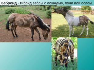 Зеброид - гибрид зебры с лошадью, пони или ослом.