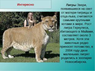 Лигры Звери, появившиеся на свет от матери-тигрицы и отца-льва, считаются сам