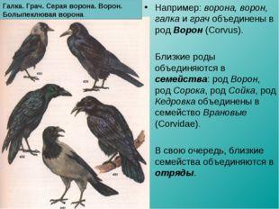 Например: ворона, ворон, галка и грач объединены в род Ворон (Corvus). Близки