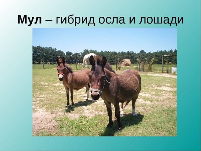 Мул – гибрид осла и лошади