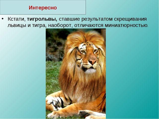 Кстати, тигрольвы, ставшие результатом скрещивания львицы и тигра, наоборот,...