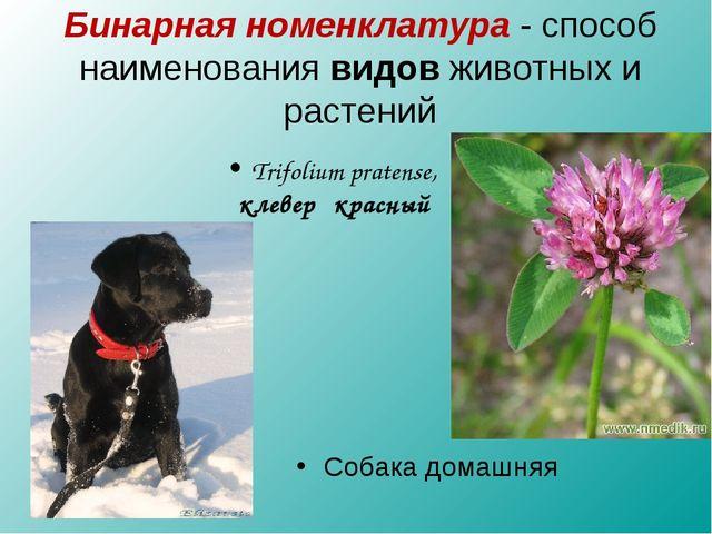 Trifolium pratense, клевер красный Собака домашняя Бинарная номенклатура - сп...