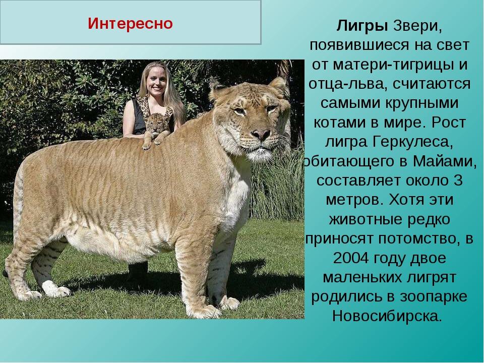 Лигры Звери, появившиеся на свет от матери-тигрицы и отца-льва, считаются сам...