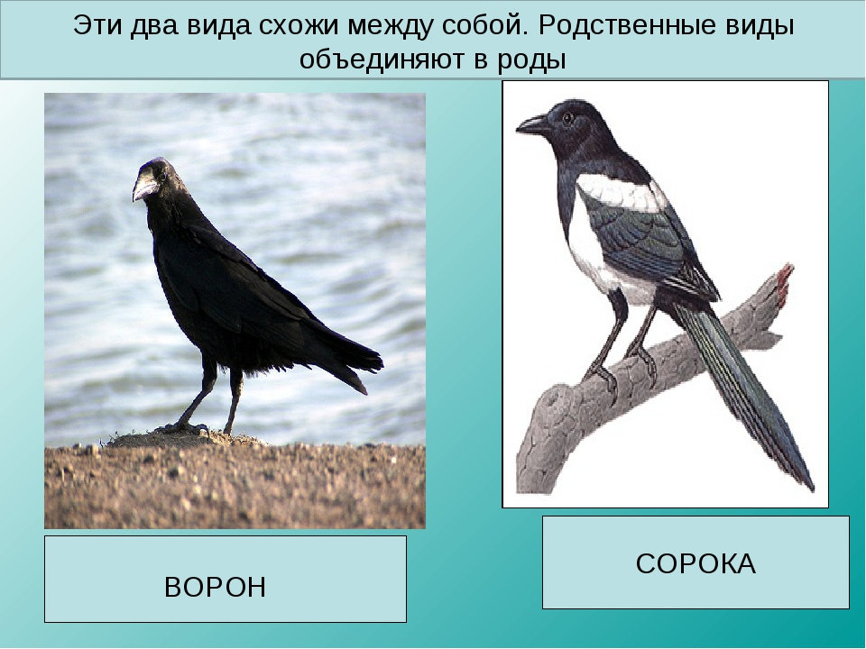 СОРОКА ВОРОН Эти два вида схожи между собой. Родственные виды объединяют в роды
