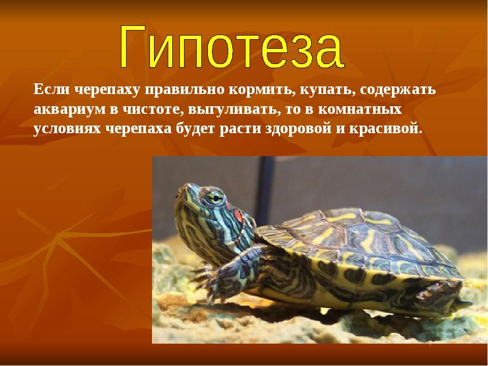 Если черепаху правильно кормить, купать, содержать аквариум в чистоте, выгули...
