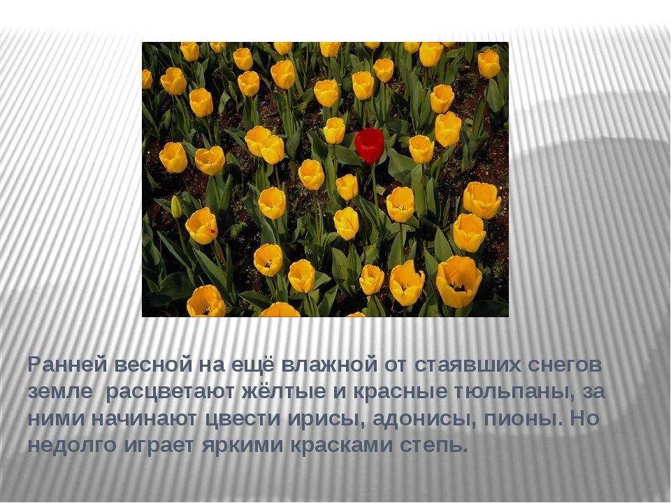 Ранней весной на ещё влажной от стаявших снегов земле расцветают жёлтые и кра...