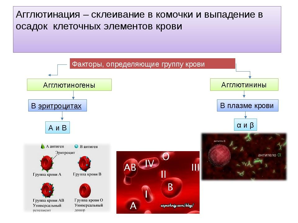 Агглютинация – склеивание в комочки и выпадение в осадок клеточных элементов...