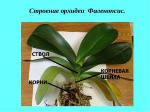 Строение орхидеи Фаленопсис.