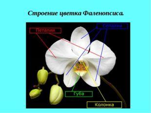 Строение цветка Фаленопсиса.