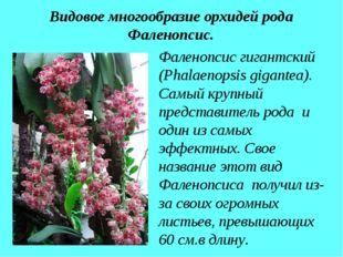 Видовое многообразие орхидей рода Фаленопсис. Фаленопсис гигантский (Phalaeno
