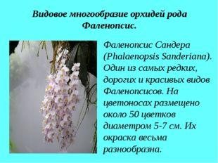 Видовое многообразие орхидей рода Фаленопсис. Фаленопсис Сандера (Phalaenopsi