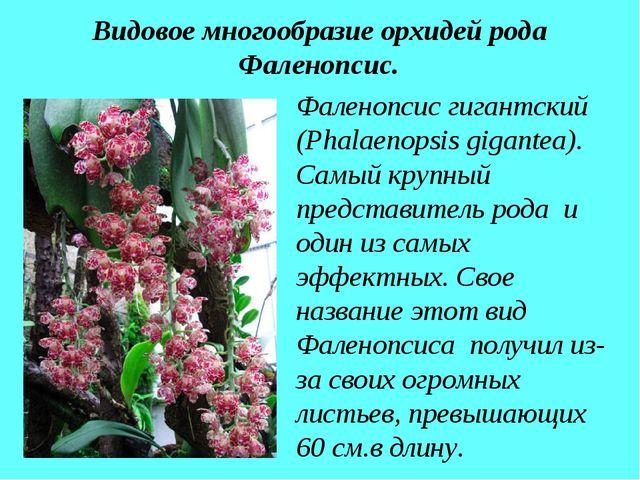 Видовое многообразие орхидей рода Фаленопсис. Фаленопсис гигантский (Phalaeno...