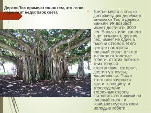 Дерево Тис примечательно тем, что легко переносит недостаток света. Третье ме