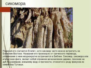 сикомора Родиной его считается Египет, хотя сикомор часто можно встретить на