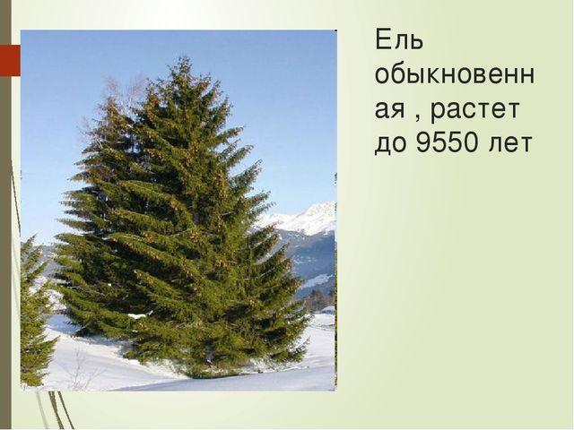 Ель обыкновенная , растет до 9550 лет