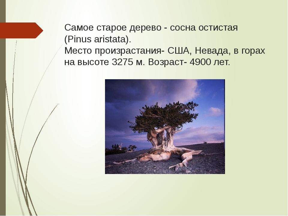 Самое старое дерево - сосна остистая (Pinus aristata). Место произрастания- С...