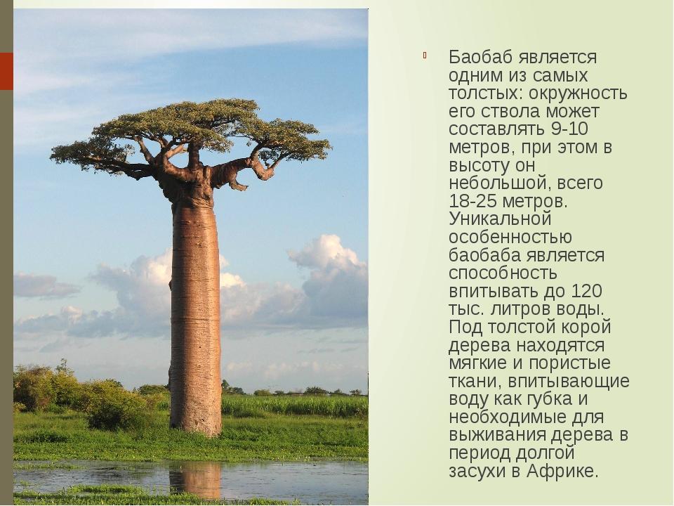 Баобаб является одним из самых толстых: окружность его ствола может составлят...