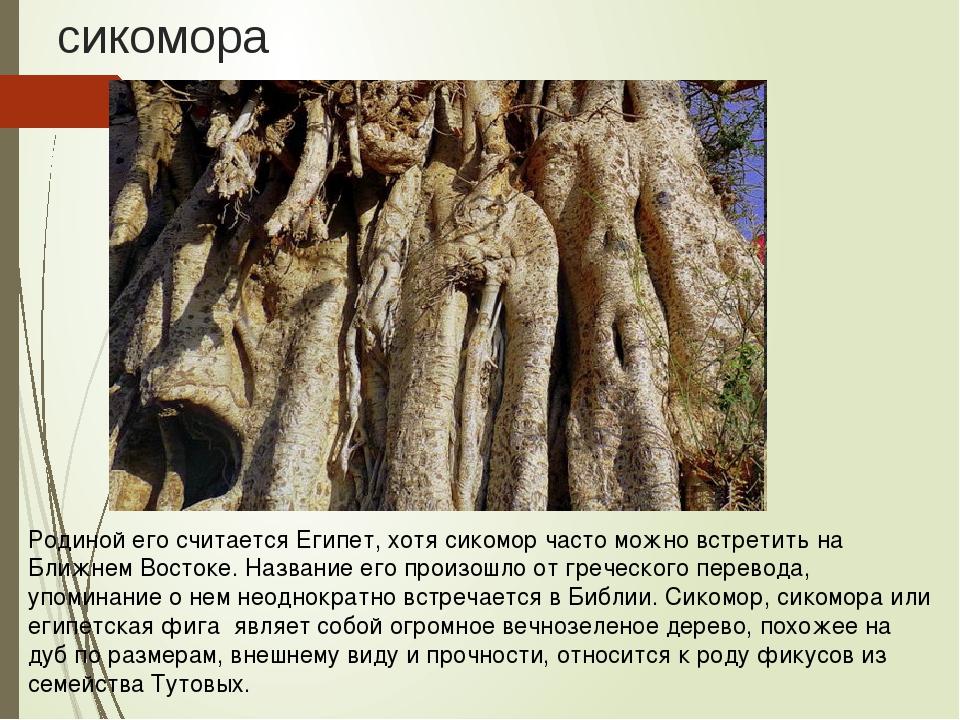 сикомора Родиной его считается Египет, хотя сикомор часто можно встретить на...
