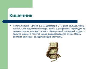 Кишечник Толстая кишка – длина 1,5 м., диаметр в 2 –3 раза больше, чем у тонк
