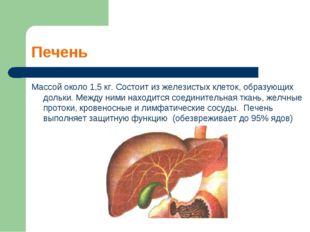 Печень Массой около 1,5 кг. Состоит из железистых клеток, образующих дольки.