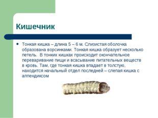 Кишечник Тонкая кишка – длина 5 – 6 м. Слизистая оболочка образована ворсинка