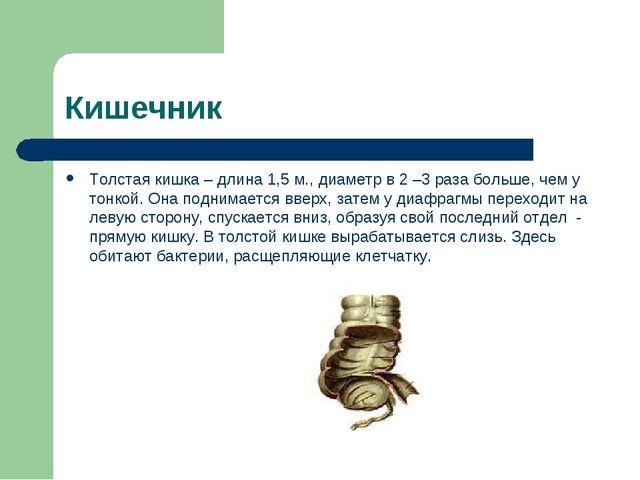 Кишечник Толстая кишка – длина 1,5 м., диаметр в 2 –3 раза больше, чем у тонк...