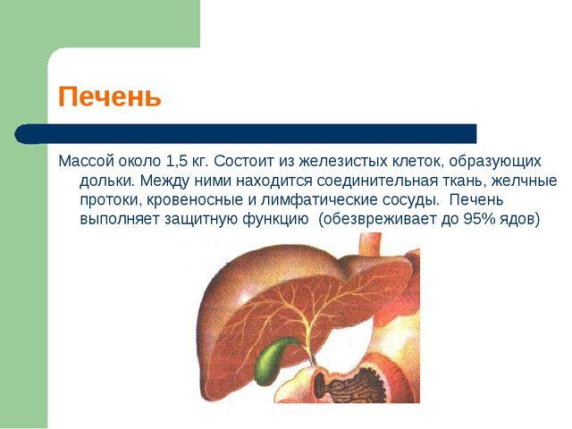 Печень Массой около 1,5 кг. Состоит из железистых клеток, образующих дольки....
