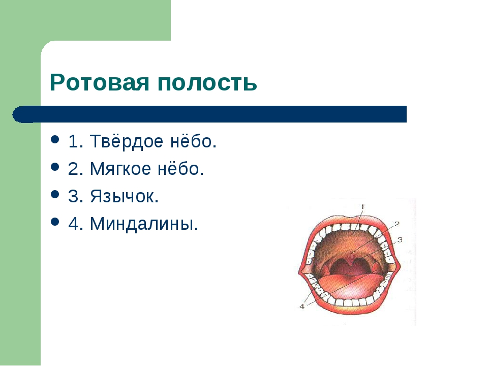 Ротовая полость 1. Твёрдое нёбо. 2. Мягкое нёбо. 3. Язычок. 4. Миндалины.