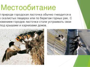 Местообитание В дикой природе городская ласточка обычно гнездится в светлых с