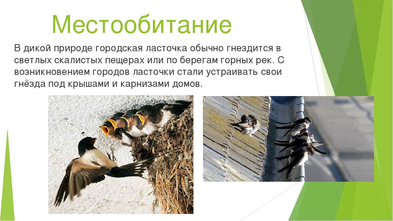 Местообитание В дикой природе городская ласточка обычно гнездится в светлых с...