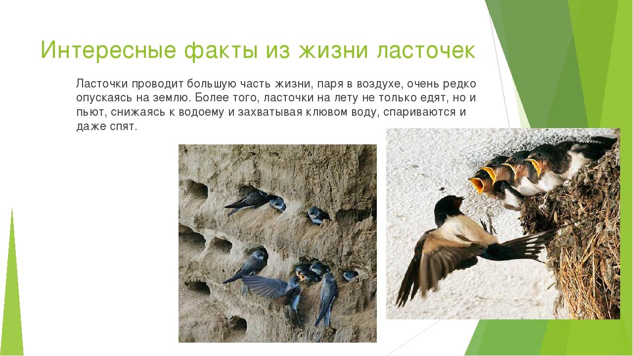 Интересные факты из жизни ласточек Ласточки проводит большую часть жизни, пар...