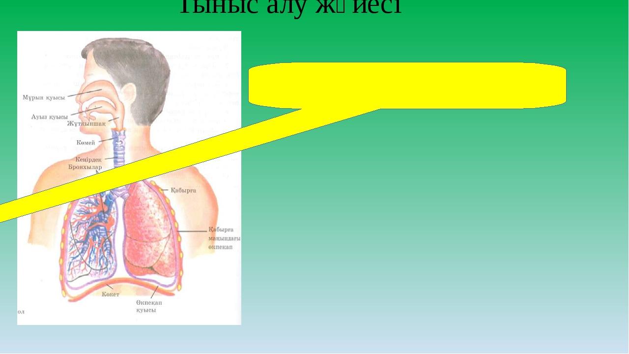 Тыныс алу жүйесі