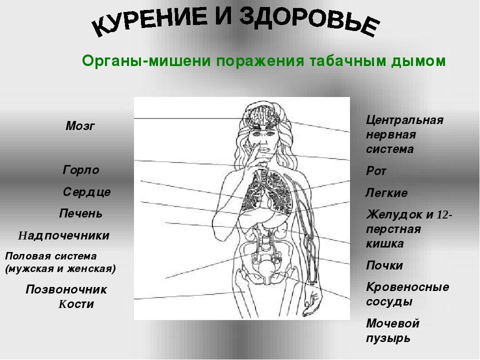 Мозг Горло Сердце Печень Надпочечники Половая система (мужская и женская) По...