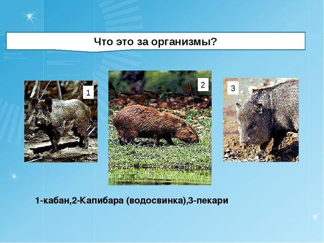 Что это за организмы? 1-кабан,2-Капибара (водосвинка),3-пекари 1 2 3